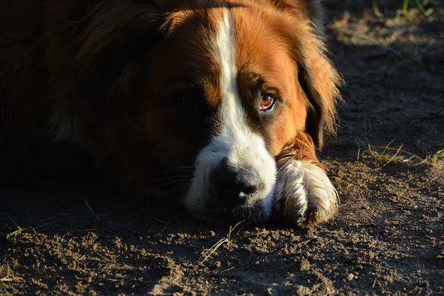 Paws For Reaction Saint Bernese Photo by Stacey McIntyre-Gonzalez