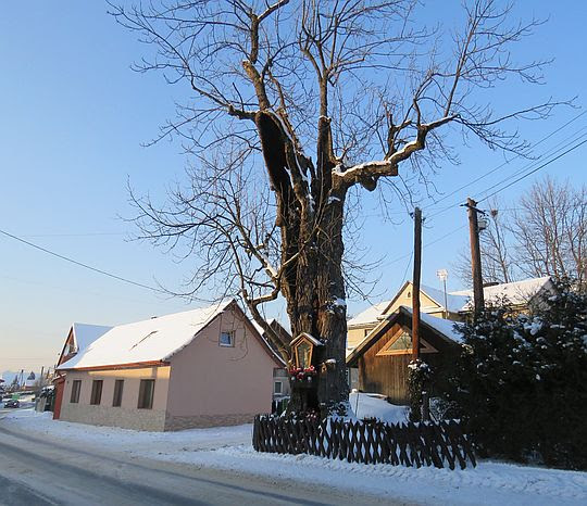 Najstarszy jesion w Gorcach.
