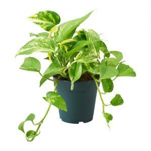 葉っぱの植物