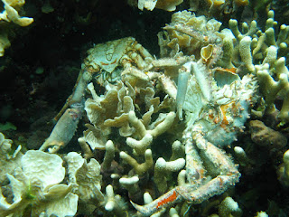 Low oxygen caused the death of these corals and others in Bocas del Toro, Panama. The dead crabs pictured also succumbed to the loss of dissolved oxygen. (Credit: Arcadio Castillo/Smithsonian) Click to Enlarge.
