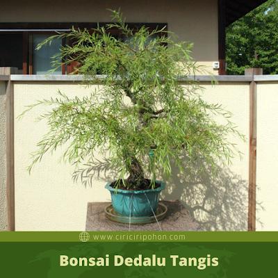 Bonsai Dedalu Tangis
