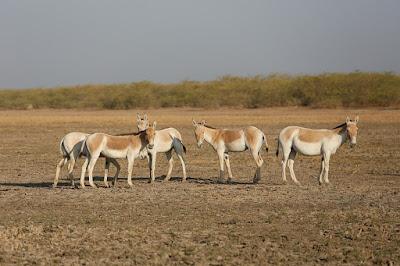 kutch desert wildlife sanctuary, कच्छ रेगिस्तान वन्यजीव अभयारण्य