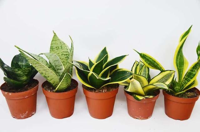 dorang, tanaman hias, bunga, lidah mertua, snake plant