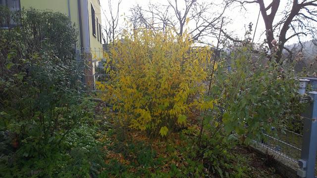 gelbes Laub vom Ranunkelstrauch leuchtet im Novembernebel (c) by Joachim Wenk