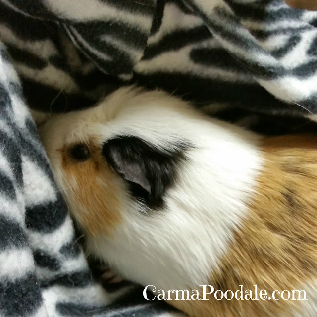 Guinea Pig in a blanket- carmaPoodale