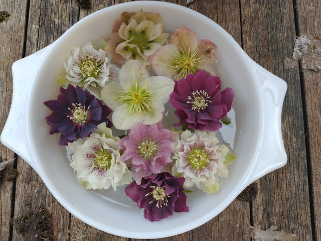 Hellebores in a bowl