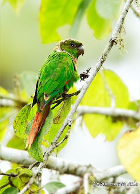 Marron-tailed parakeet (Pyrrhura melanura)