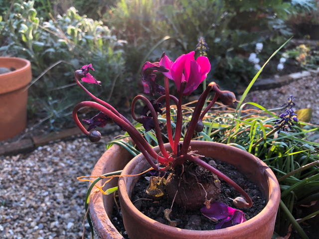 Deep pink cyclamen lit up by evening light in the garden