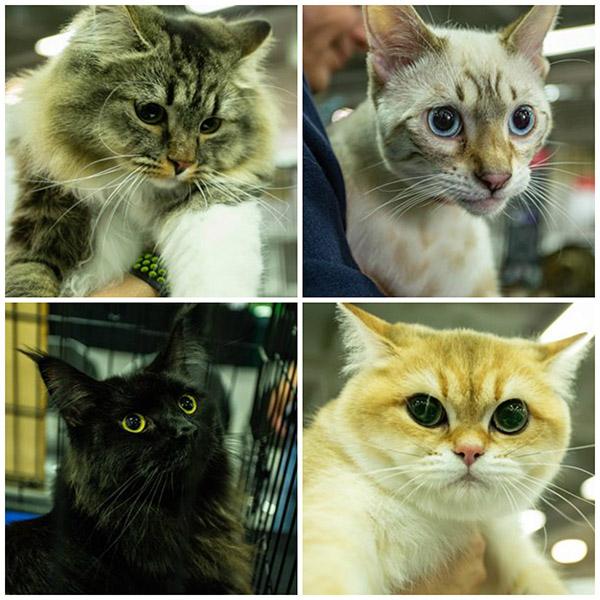 VI-Exposición-Felina-Expopet-gatos-corferias-animales-mascotas
