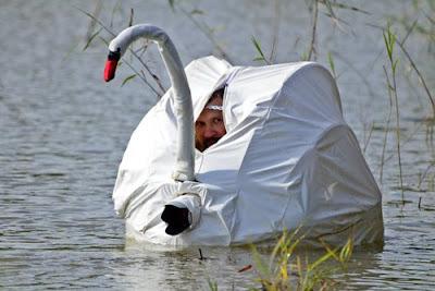 Cisne para camuflajear fotografo