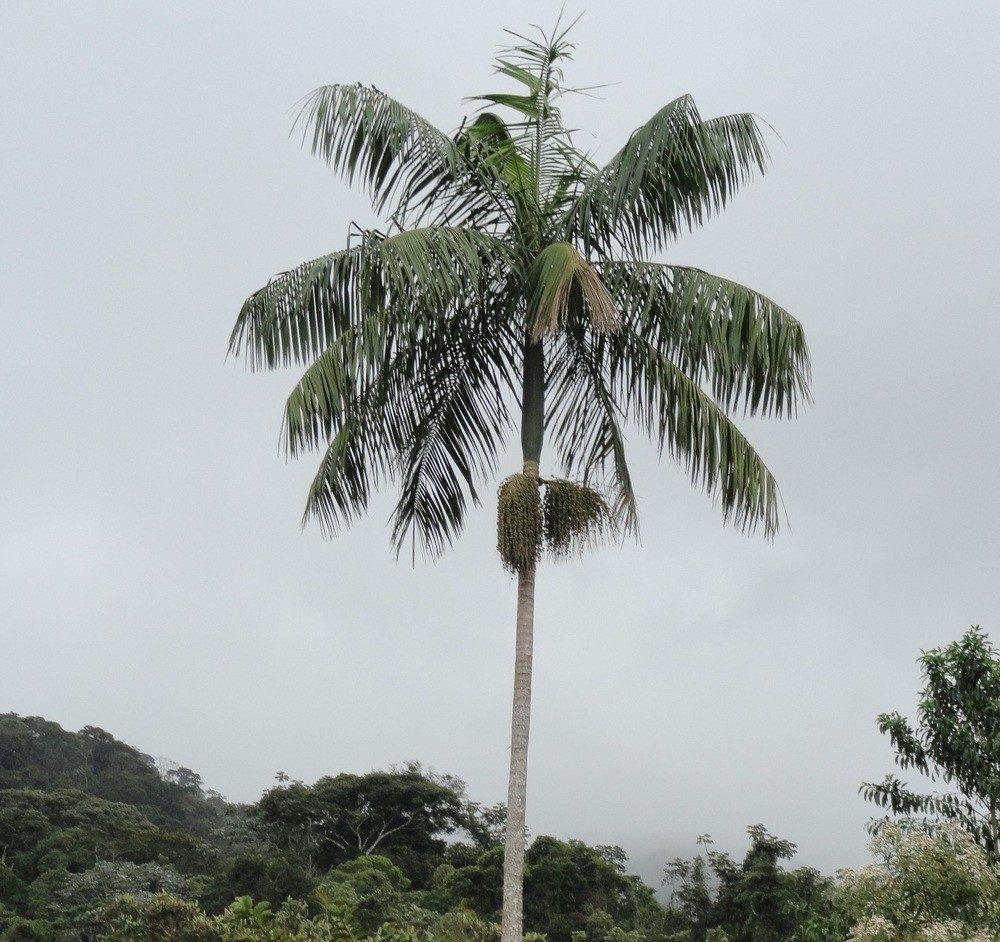 Palmito Juçara (Euterpe edulis)