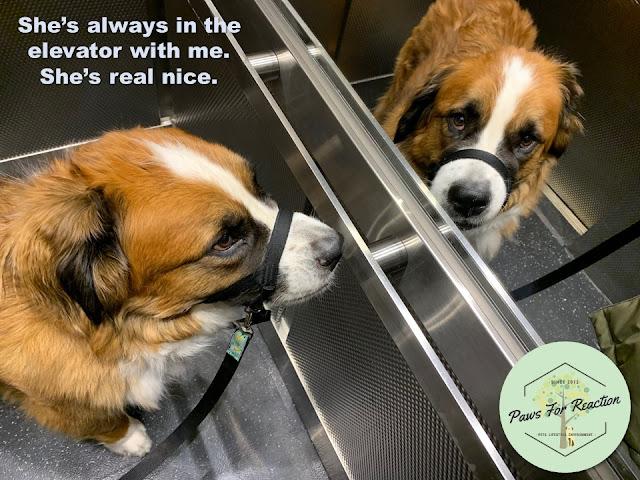 Ottawa Saint Bernese dog
