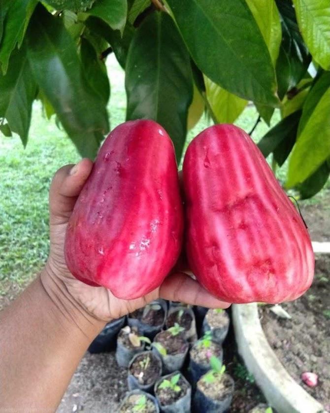 Bibit jambu jamaika jumbo okulasi bisa COD Sibolga