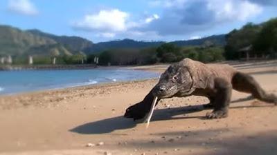 Kementerian Lingkungan Hidup mengatakan proyek 'Jurassic Park' bukan ancaman bagi komodo