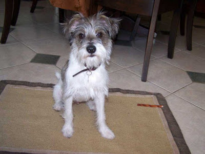 Schnauzer jack russell terrier mix Temperament, Size, Adoption, Lifespan, Price