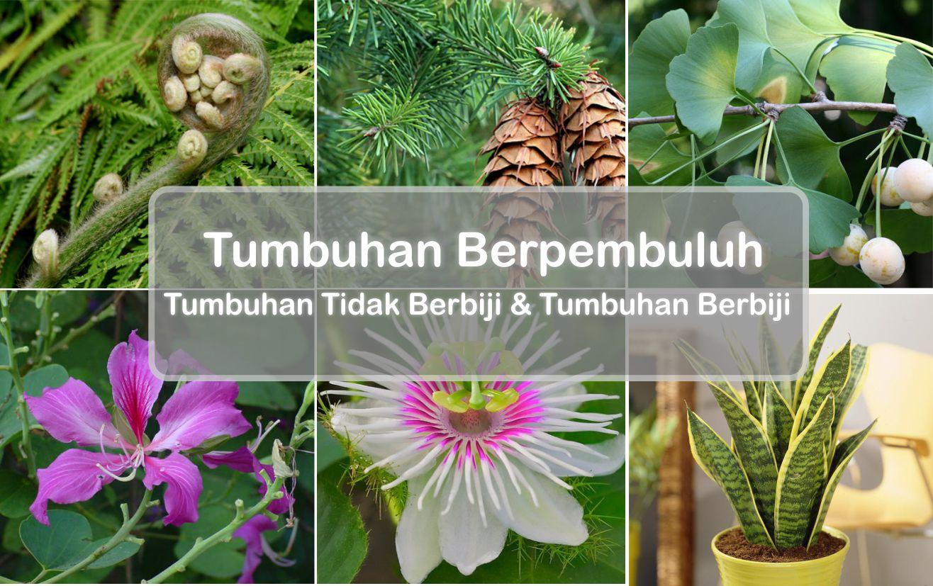Download Kumpulan Sketsa Gambar Perawakan Tumbuhan Gnetum
