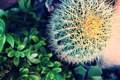 kaktus golden barrel gentong