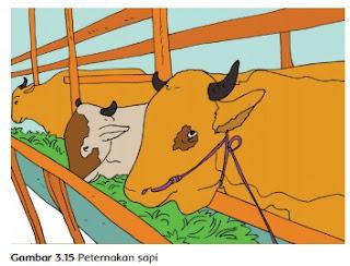 Peternakan sapi www.simplenews.me