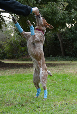dog in legwarmers
