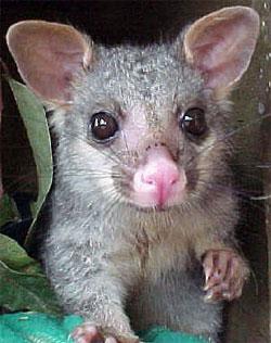 Coffs harbour garden club possums - How to get rid of possums in the garden ...