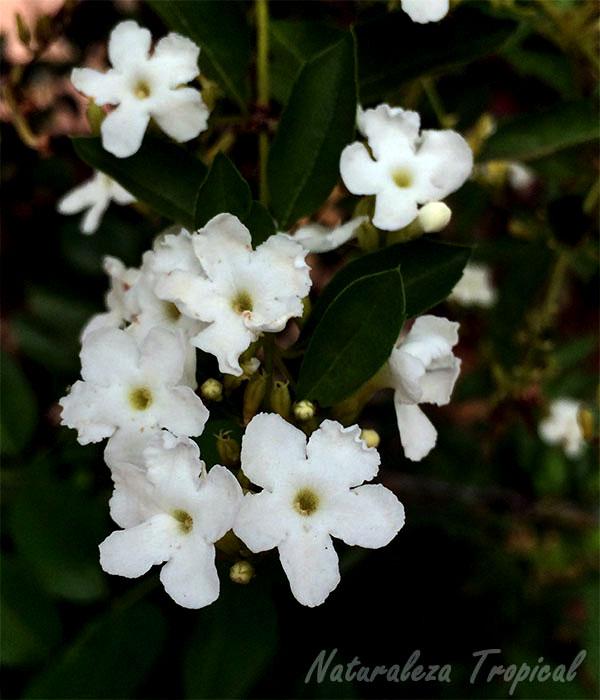 Flores blancas de la planta Corona de Novia, Duranta erecta