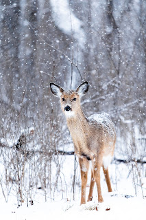 whitetail deer in the snow