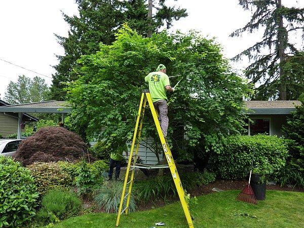 Real World Gardener Pruning Up High Growing Fruit Trees