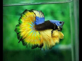 ikan cupang Di Pelihara Di Akuarium Kecil