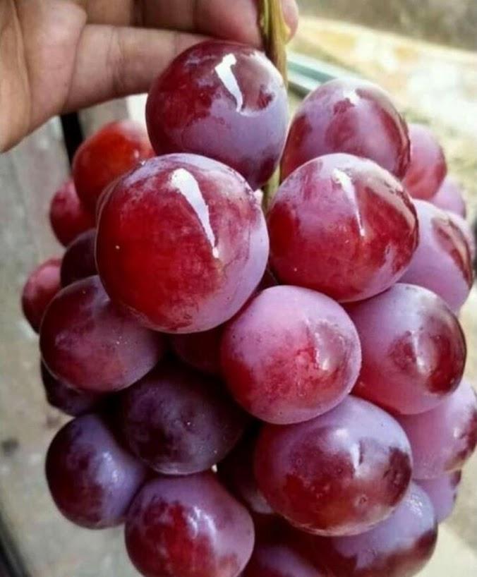 bibit Anggur unggul Jawa Timur
