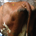 How to administer an intramuscular injection to a dairy cow