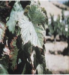 Gambar Gejala defisiensi boron pada daun anggur