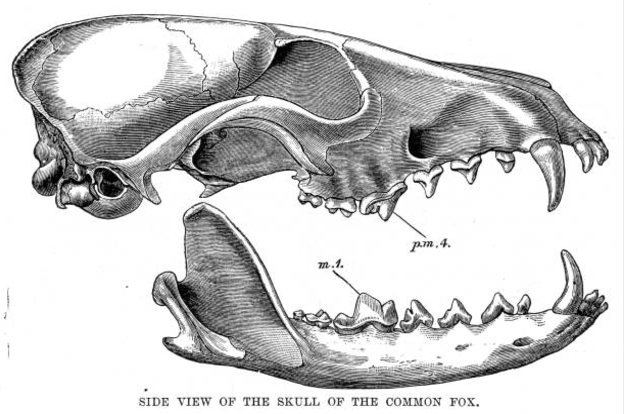 botulismo-ossos-pasto-bones-skull-cattle-vetarq