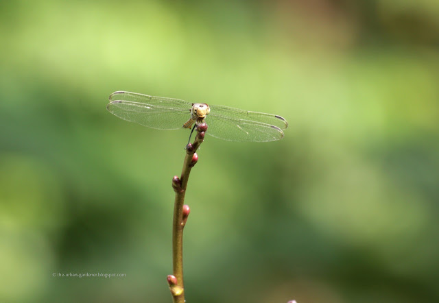 The Urban Gardener | Dragonfly
