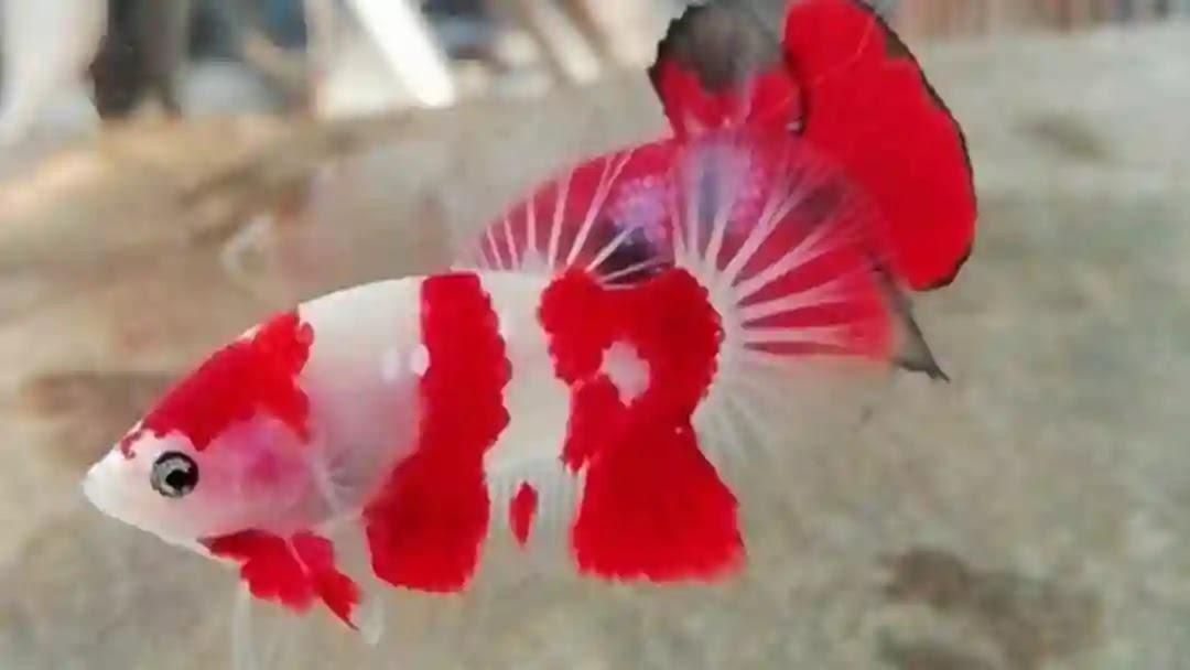 Cara Merawat Ikan Koki Tanpa Oksigen Yang Benar
