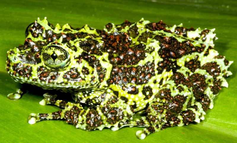 Mossy Tree Frog | ClubFauna | Pet Forum