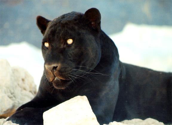 Black jaguar, Free Stock Photos | Pictures In Stitches - photo#15