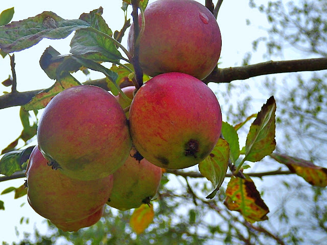 Apple tree grown from a pip