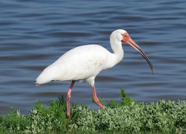 American White Ibis - Merritt Island, Florida