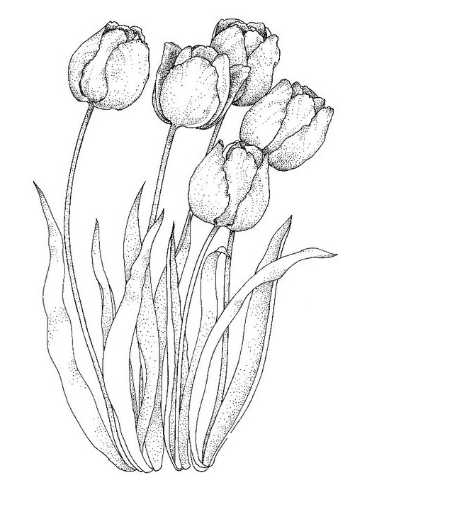 Gambar Mewarnai Gambar Mewarnai Bunga Tulip Terbaru
