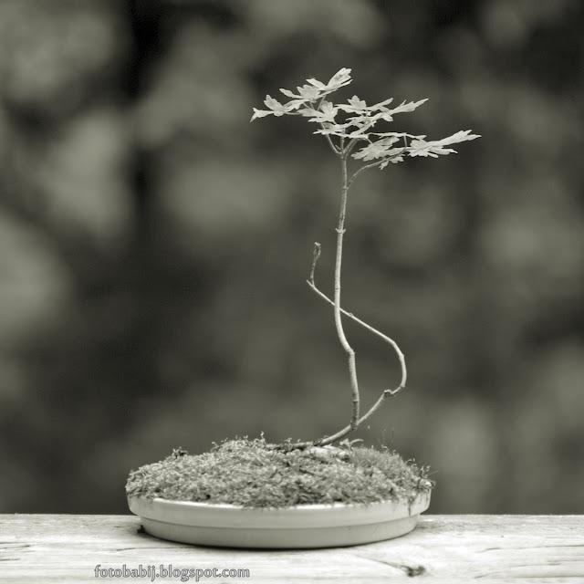 http://fotobabij.blogspot.com/2015/08/bonsai-klon-polny-p0o.html