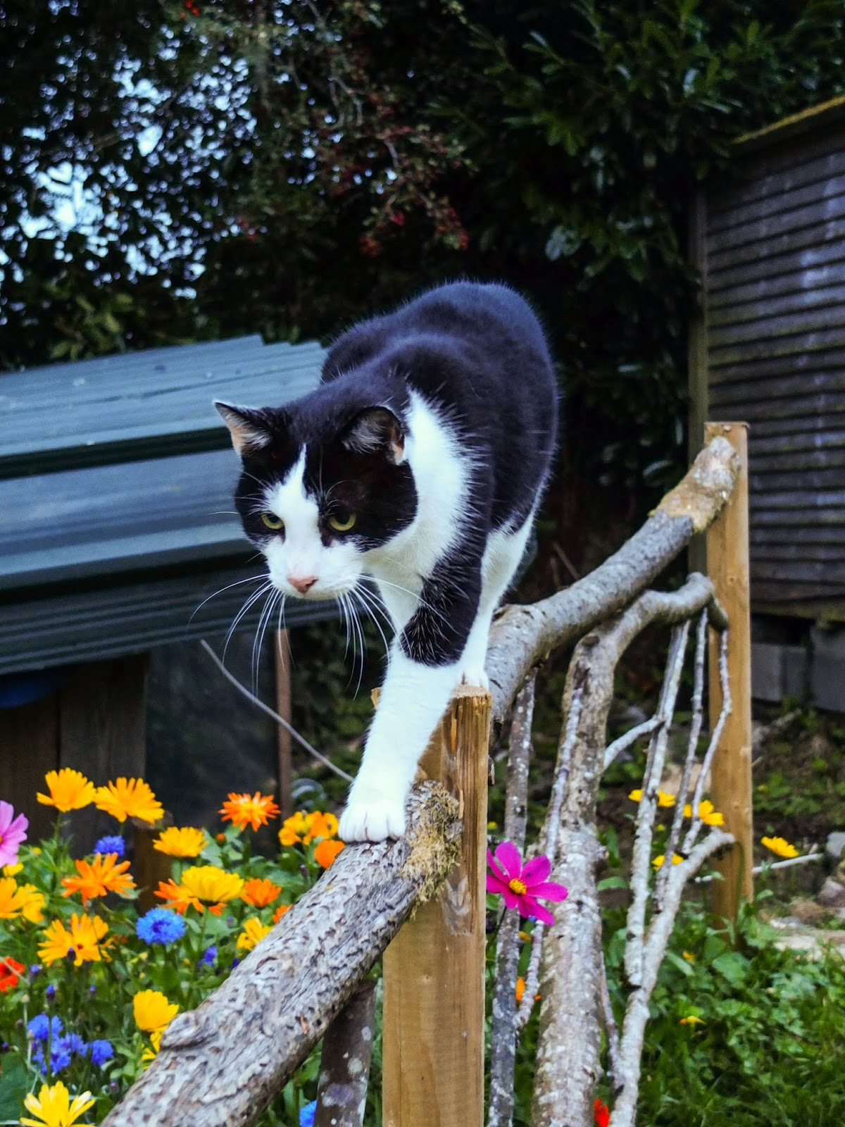 A black and white cat walking on a flower garden fence with a shed in the background.
