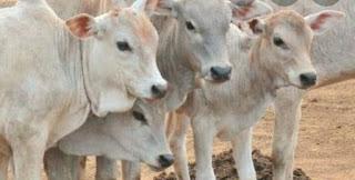 गोधन से प्रदेश बनेगा आत्मनिर्भर गो टैक्स से गायों को मिलेगा चारा