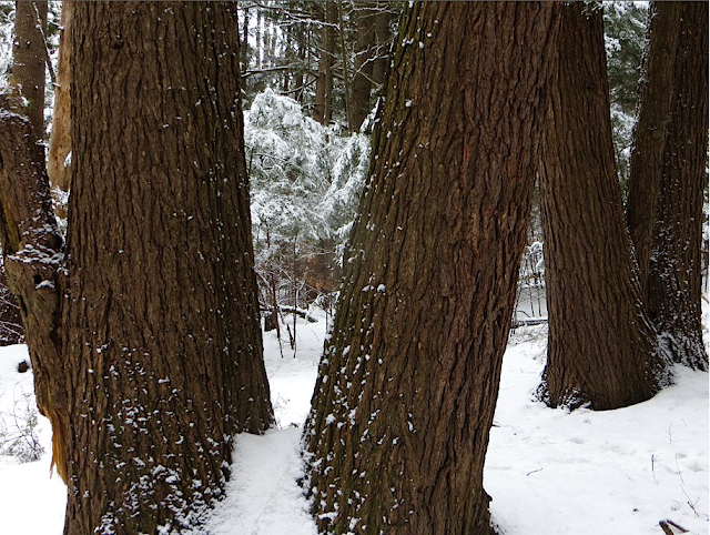 Hemlocks in Broad Brook Forest, Northampton MA