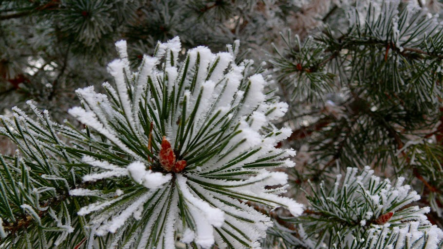 Snow-covered evergreen