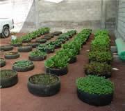 como cultivar
