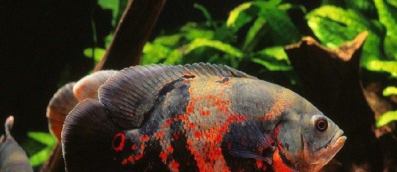 Jenis-JENIS IKAN HIAS? Ini Dia Daftar Nama Ikan Yang Populer Dipelihara