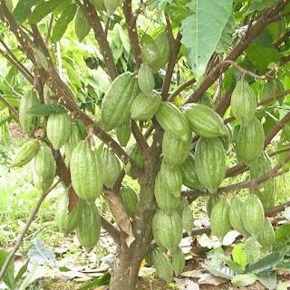 http://www.pusatpupukorganik.com/2017/06/jual-pupuk-penyubur-tanaman-kakao.html