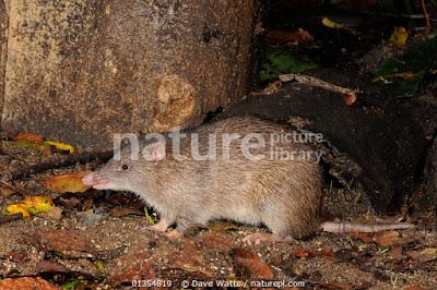 Bandicut marrón del norte (Isoodon macrourus)