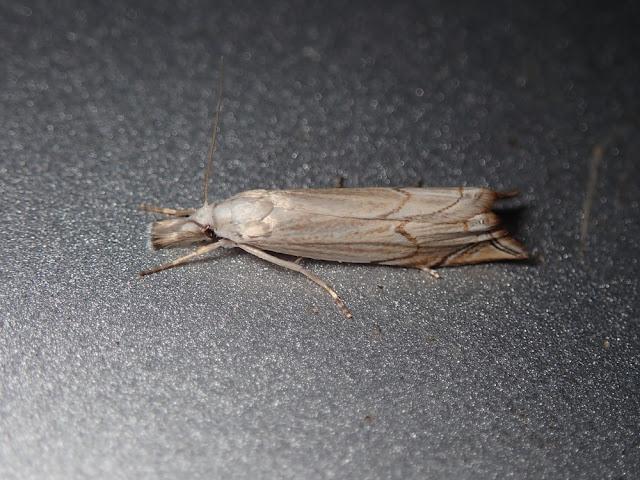 Metacrambus carectellus