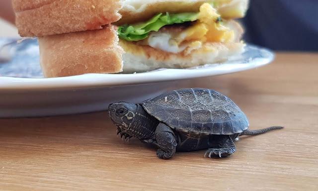 クサガメ japanese stink pod turtle